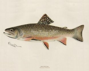 Trout, Brook (Male)